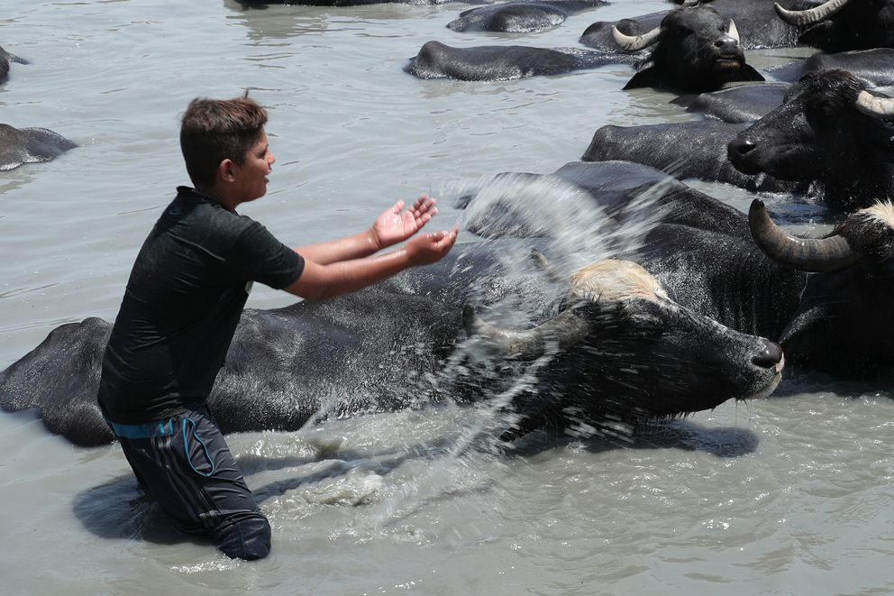Saadoun Abdel Rahman cools off his cattle to beat the heat in the Diyala waterway outside Baghdad Iraq, Saturday, June 15, 2019. The animals are bathed daily to help keep them free of diseases and to protect them from the heat. (AP Photo/Hadi Mizban)