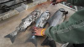Killer of returning Puget Sound salmon is hidden in plain sight, scientists say