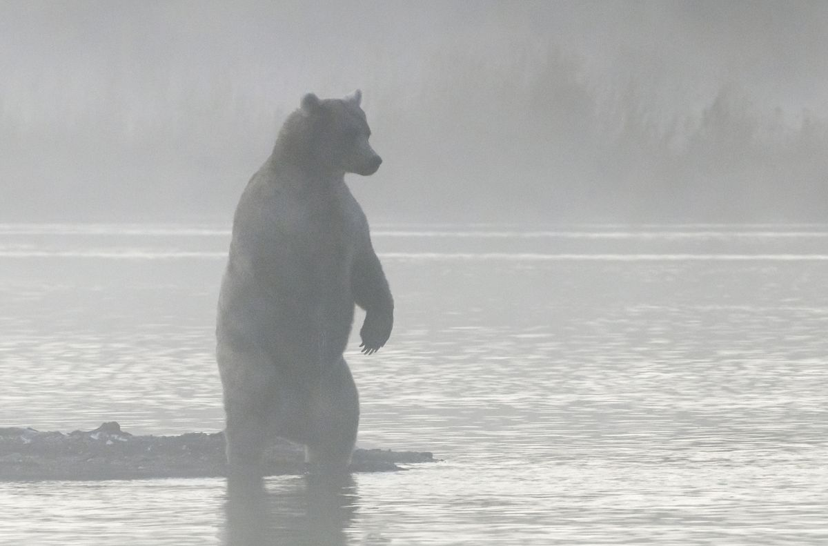 Brown bear on a foggy morning in Katmai National Park (Photo by Tom Walker)