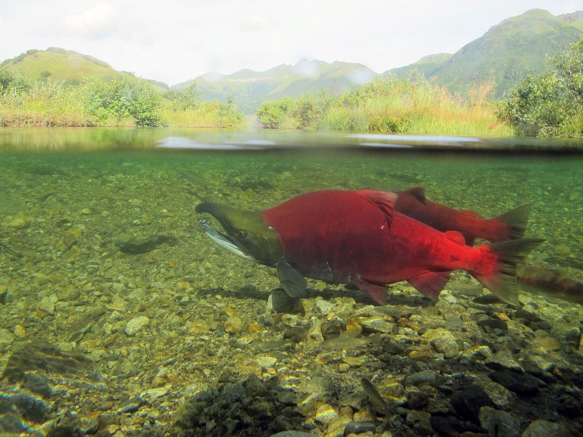 Salmon spawning may erode the surrounding landscape, a new study shows. (Katrina Mueller / USFWS)