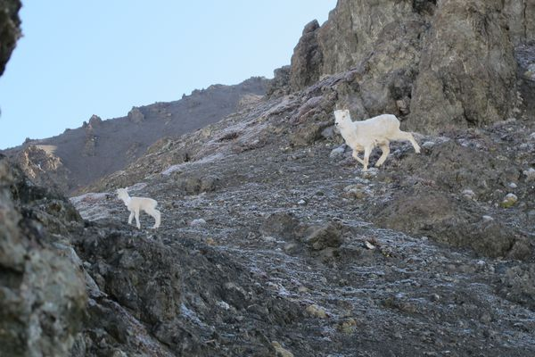 A ewe rejoins her radio-collared lamb near Nelchina Glacier in 2013. (Tom Lohuis / ADFG)