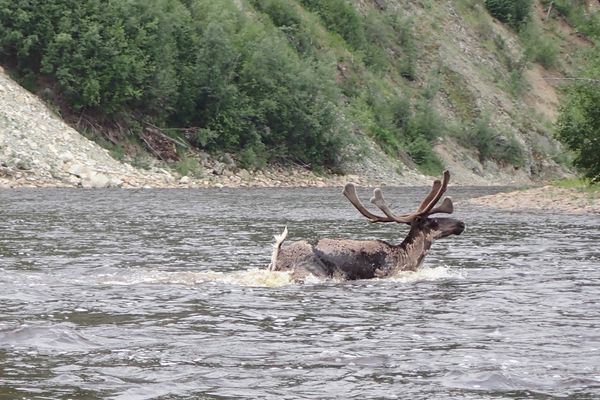 A caribou swims across the Fortymile River. (Ned Rozell)