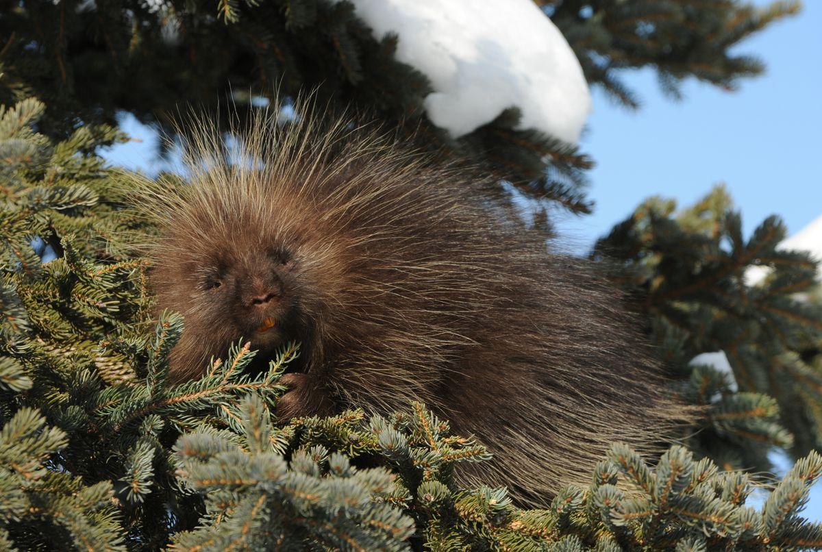 A porcupine feeds on spruce needles. (Bob Hallinen / ADN)
