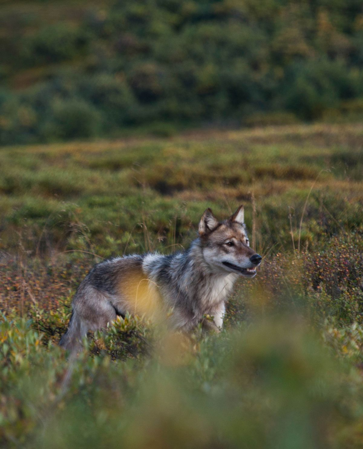 A wolf just east of Stony Creek, Denali National Park, 2013. (Jay Elhard / NPS)
