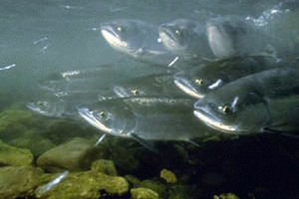 Wild Alaska salmon commercial harvests surged to over 140 million fish through Aug. 6, with the catch of pink salmon alone climbing past 95 million fish.