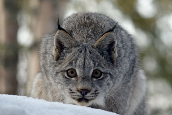 A pair of lynx visited a Hillside Anchorage home Tuesday morning, March 12, 2019. (Photo by Tyler Deemer)