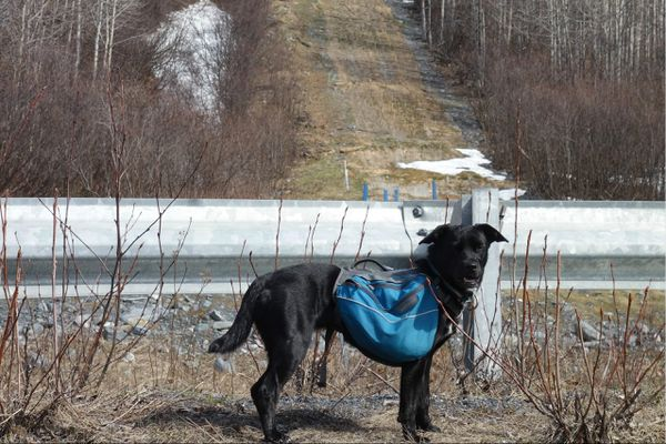 Cora the Lab/blue heeler mix deciding to avoid the pipeline's path up Thompson Pass northeast of Valdez. She and Ned Rozell walked the Richardson Highway instead. (Ned Rozell)