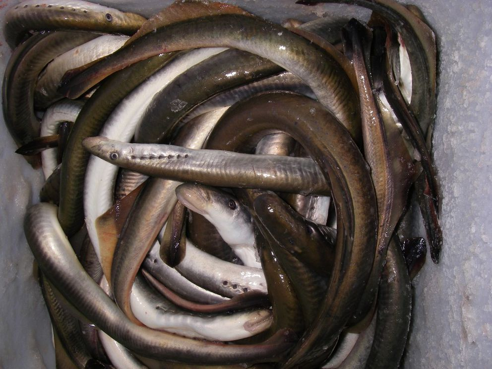 A bucket of lampreys, freshly harvested from the Yukon River (Photo courtesy of Alaska Department of Fish and Game)