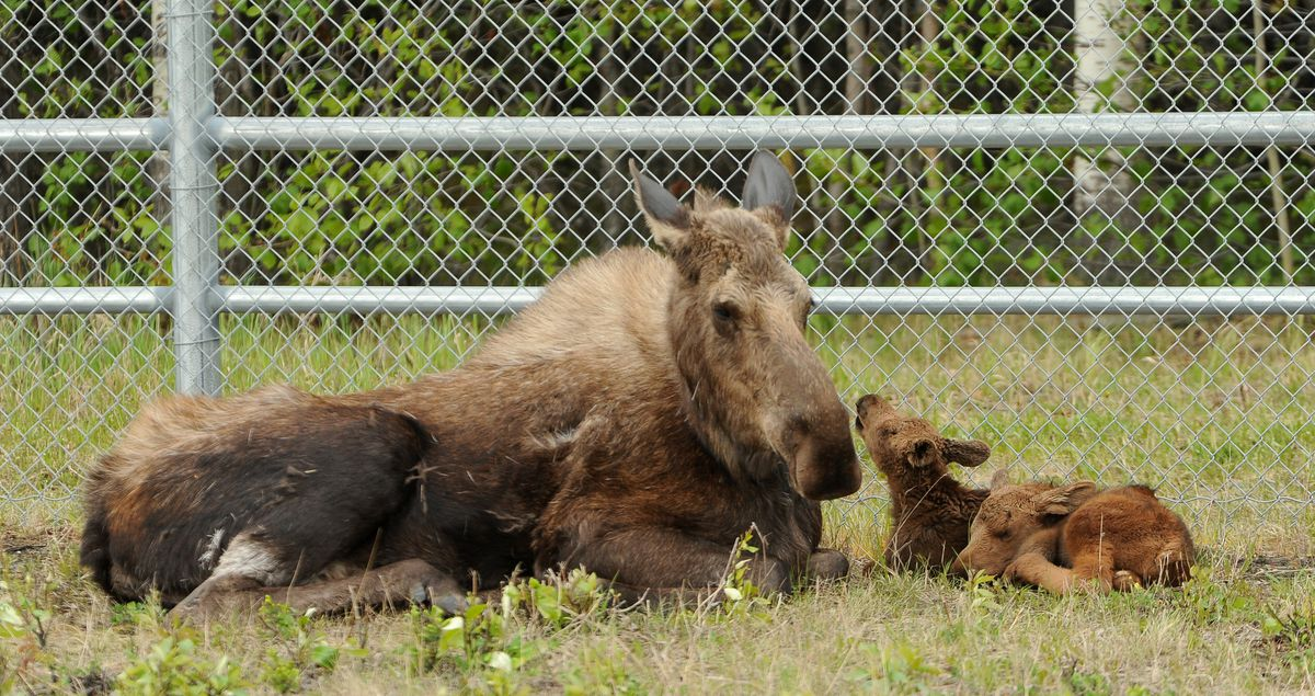 A mother moose and her twin newborn offspring rest next to  Joint Base Elmendorf-Richardson along the Glenn Highway on Wednesday. (Bob Hallinen / Alaska Dispatch News)