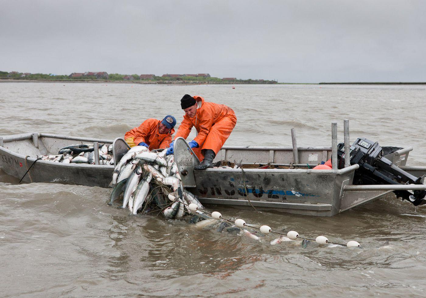 Graveyard Point setnetters pull in heavy gillnets filled with wild Alaska sockeye salmon. June 27, 2011 (Courtesy Corey Arnold)