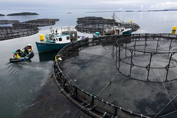 In this Thursday, July 13, 2017 photo, workers position their boats at a Cooke Aquaculture salmon farm near Blacks Harbour, New Brunswick, Canada. A surge of parasitic sea lice is disrupting salmon farms around the world, infesting salmon farms in the U.S., Canada, Scotland, Norway and Chile. (AP Photo/Robert F. Bukaty)