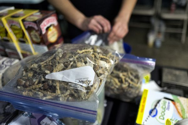 A vendor bags psilocybin mushrooms at a pop-up cannabis market in Los Angeles on Monday, May 6, 2019. Voters decide this week whether Denver will become the first U.S. city to decriminalize the use of psilocybin, the psychedelic substance in
