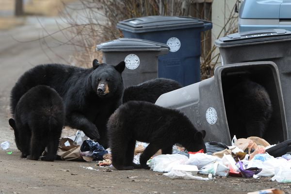 Bill Roth / Alaska Dispatch News A black bear sow and four cubs were spotted resting, playing, and foraging in the woods on Government Hill in Anchorage on Sunday, April 12, 2015, before looking for getting an easy meal in garbage cans lining an alley.