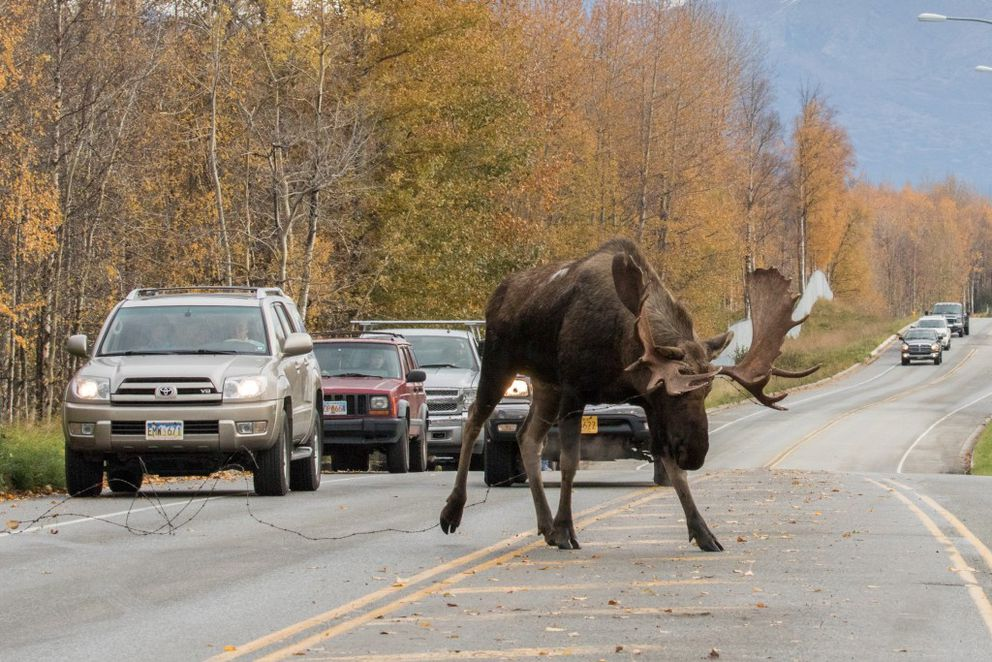A bull moose drags barbed wire behind him as he crosses Raspberry Road after fighting another bull on the other side of a fence on Sunday, Oct. 2, 2016. The bull was later tranquilized by biologists remove the wire.  (Photo by Doug Lindstrand)