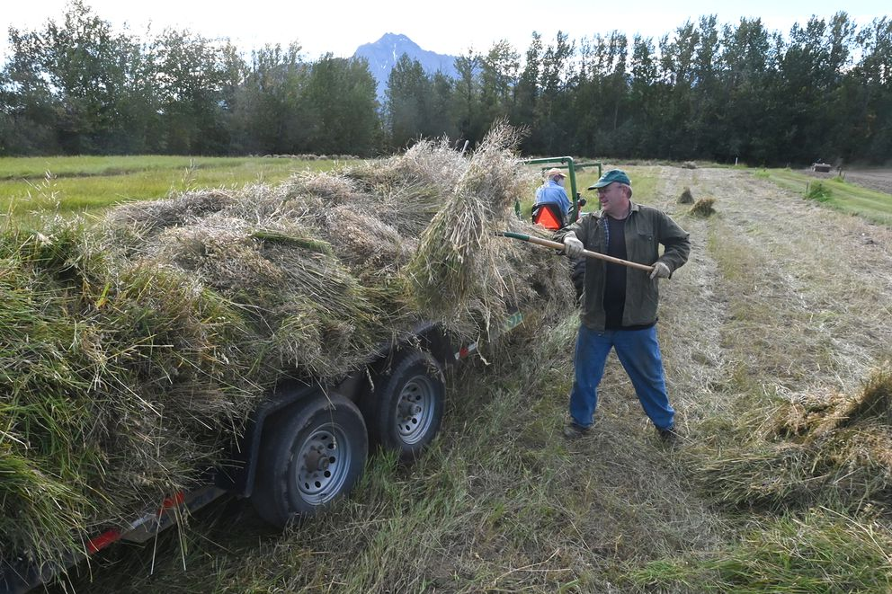 Curtis Rustad stacked bundles of oats on a trailer during Harvest Fest on Sunday, Sept. 6, 2020. (Bill Roth / ADN)