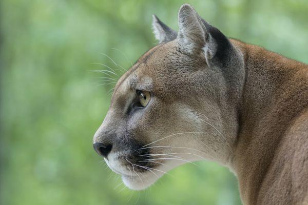 Cougar / Mountain Lion watching prey