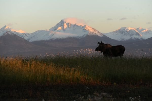 A young bull moose feeds along Point Woronzof Rd west of Ted Stevens International Airport at sunset in Anchorage, Alaska on Monday, Oct. 16, 2017. The Chugach Mountains and houses on the hillside glow in the evening light. (Bob Hallinen / Alaska Dispatch News)