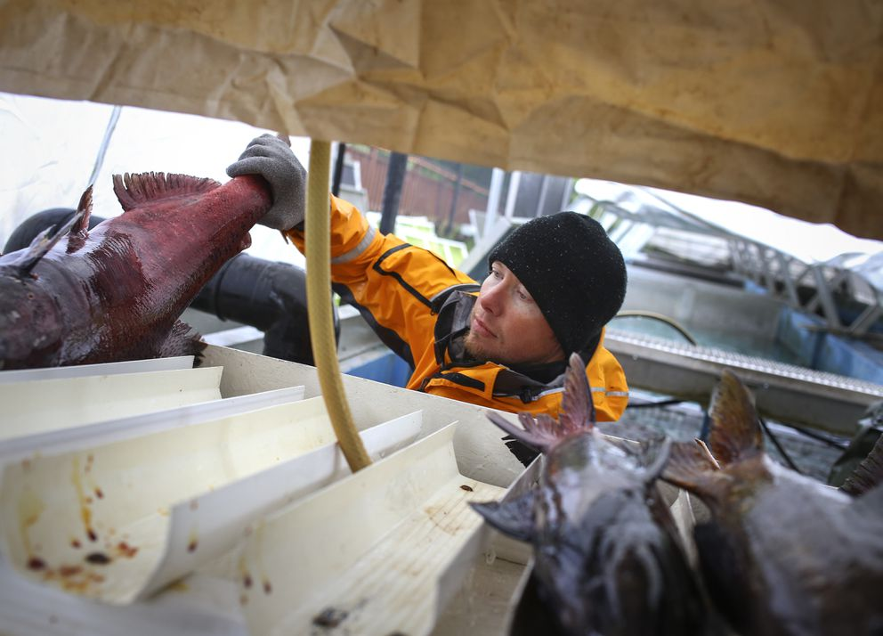 Fish Culturist II Andrew Garry places a king salmon that returned to Ship Creek, completing its life cycle, onto a spawning rack on Wednesday. (Emily Mesner / ADN)
