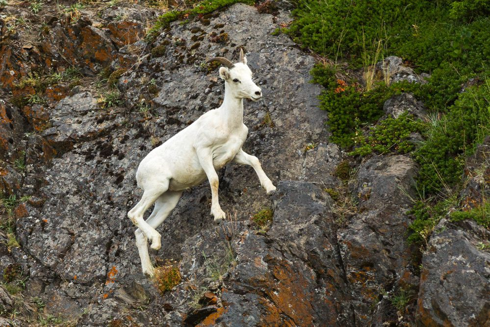 A Dall sheep looks for food along the rocks at windy corner along Turnagain Arm on Thursday, Jun. 23, 2016. (Loren Holmes / Alaska Dispatch News)