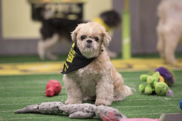 A star of the 2017 Puppy Bowl, which is filmed in October with dogs from shelters. MUST CREDIT: Courtesy of Discovery Communications.