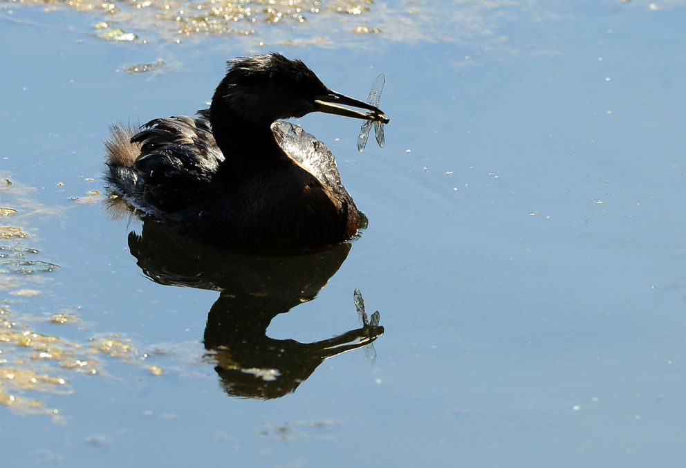 A grebe holds a dragonfly in its beak at Cheney Lake. (Bob Hallinen / ADN)