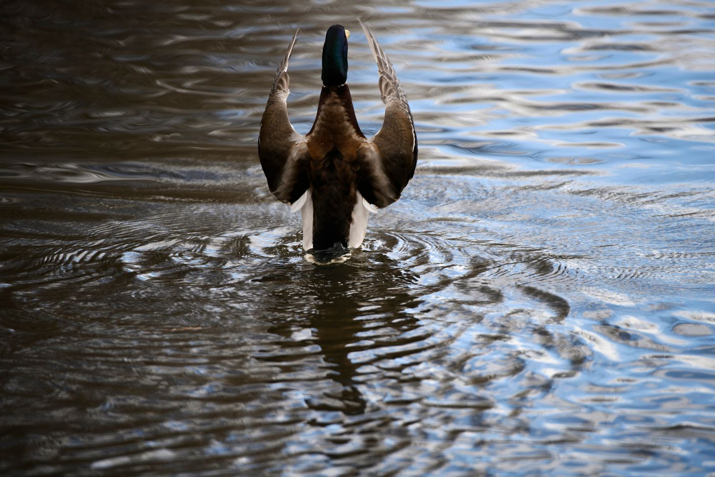 A mallard flaps its wings in Hillstrand Pond on the Chester Creek greenbelt on April 12, 2021. (Marc Lester / ADN)