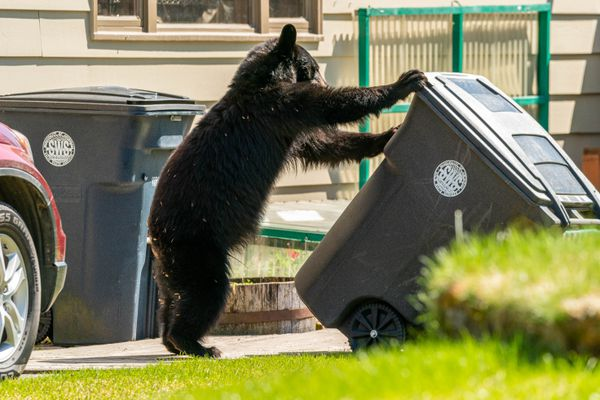 A black bear tips over a garbage can on Saturday, May 22, 2021 in West Anchorage. According to neighborhood residents, the bear had been seen getting into trash in the area all day. (Loren Holmes / ADN)