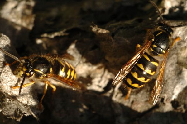 Yellow jacket wasps are thriving around Anchorage due to the long dry summer and plenty to eat. Lots of people have reported being stung. (Bill Roth / ADN archive 2004)