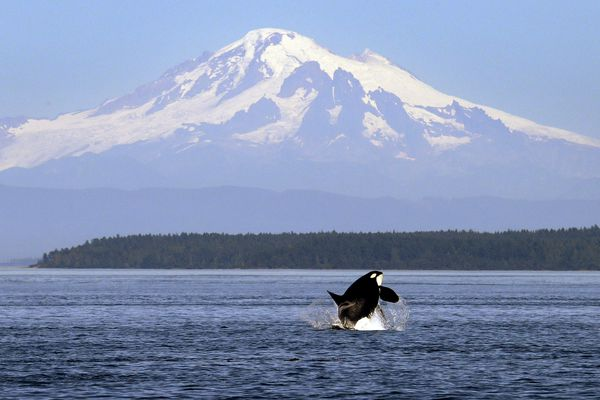 FILE - In this July 31, 2015, file photo, an orca whale breaches in view of Mount Baker, some 60 miles distant, in the Salish Sea in the San Juan Islands, Wash. Whale researchers who track the small endangered population of Puget Sound orcas say three whales are believed dead or missing since summer. The Center for Whale Research says that as of Friday, Oct. 28, 2016, there are only 80 animals. Two females and a 10-month old calf are believed gone. (AP Photo/Elaine Thompson, File)