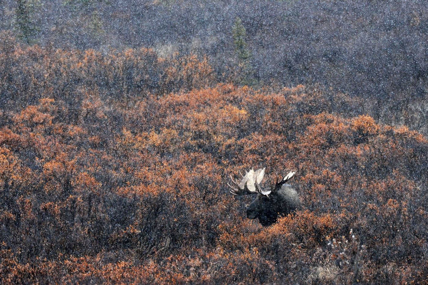 Snow swirls around a bull moose in Denali National Park on Sept. 23, 2014. The bull was with two cows in the park.  (Bob Hallinen / Alaska Dispatch News)
