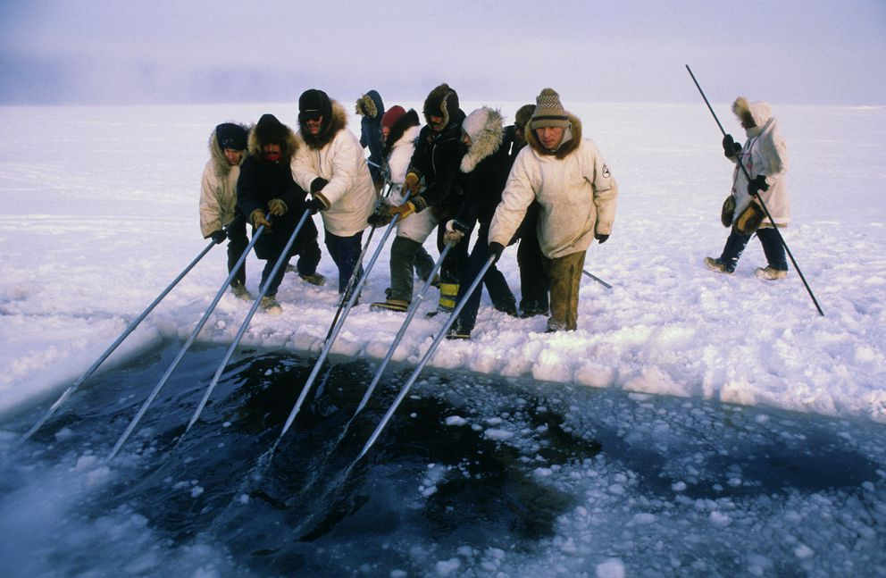 In October 1988, Barrow residents used poles to push blocks of ice, carved by chain saws, under the ice surface to form breathing holes for gray whales in the Beaufort Sea icepack off Point Barrow.  The two-week whale-rescue effort gained worldwide media coverage. (Bill Roth / ADN)