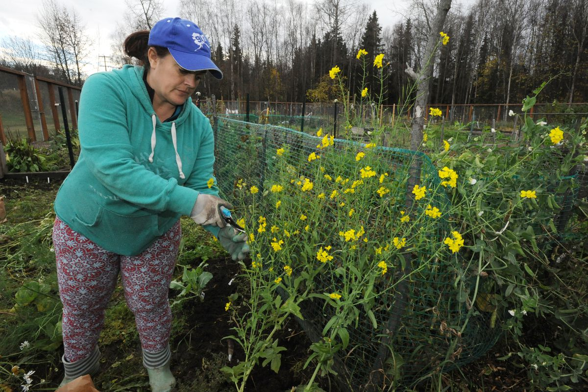 Kristi Trimmer spent the afternoon harvesting seed pods and vegetables at her plot in the C Street Community Garden on Sunday, Oct. 21, 2018. Because of the late fall weather Trimmer said she was able to harvest radish pods, carrots, beets, parsley, thyme, chamomile and spinach seeds for an additional three weeks. (Bill Roth / ADN)