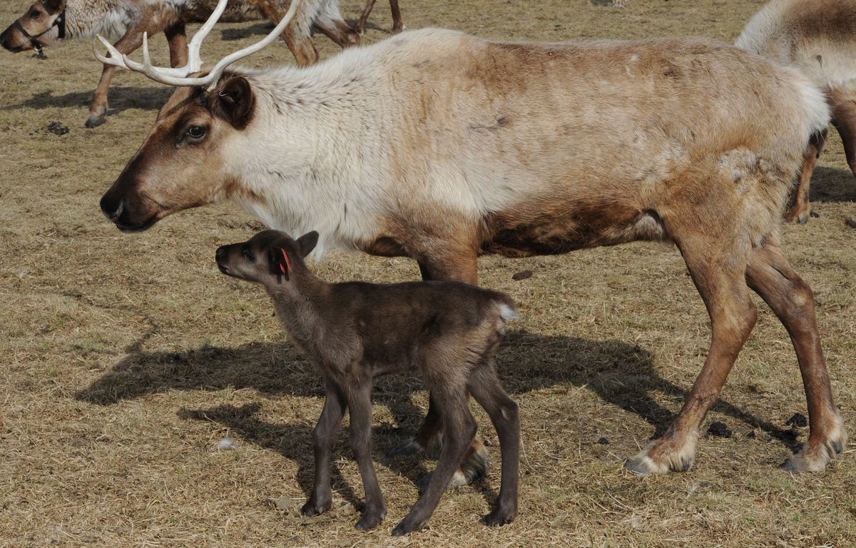 A days-old reindeer calf shadows its mother at the Reindeer Farm next to Bodenburg Butte on Tuesday, April 9, 2019. (Bill Roth / ADN)
