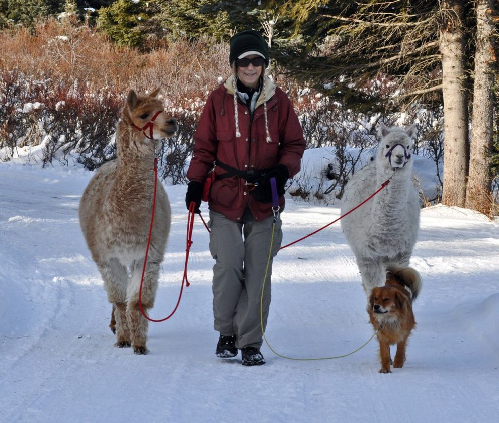 Whenever the snow provides sure footing, Gypsy and Canela enjoy a walk on the driveway with Nina Faust and Chipper, sometimes off leash for the alpacas. This gives them at least half hour to an hour of exercise each day. (Robin Edwards)