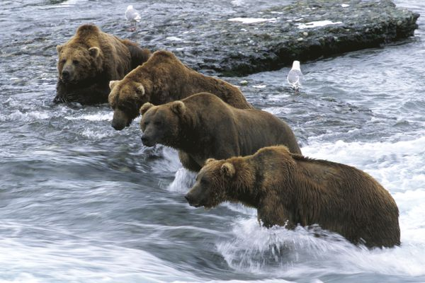 A group of large male brown bears dominate the prime fishing spots at the falls at McNeil River State Game Sanctuary across Cook Inlet from Homer. (Bob Hallinen/Anchorage Daily News)