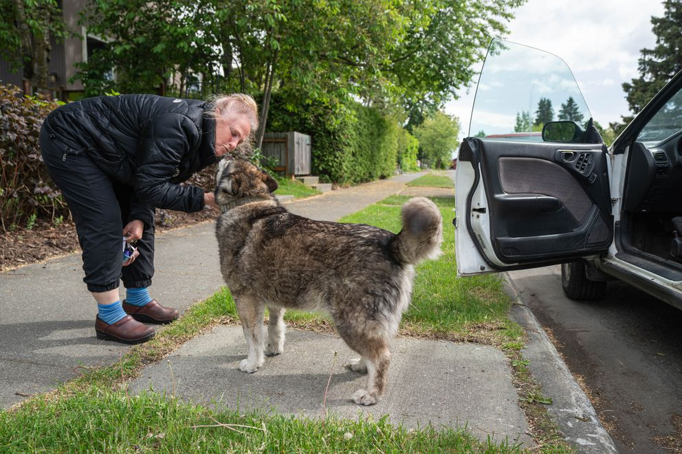 Neighbor Racheali Feller pulls over on her way home to pet Newtok on Wednesday, June 17, 2020 in South Addition. Feller and her husband sometimes borrow Newtok, taking him for walks to Side Street Espresso, where he gets a treat. (Loren Holmes / ADN)