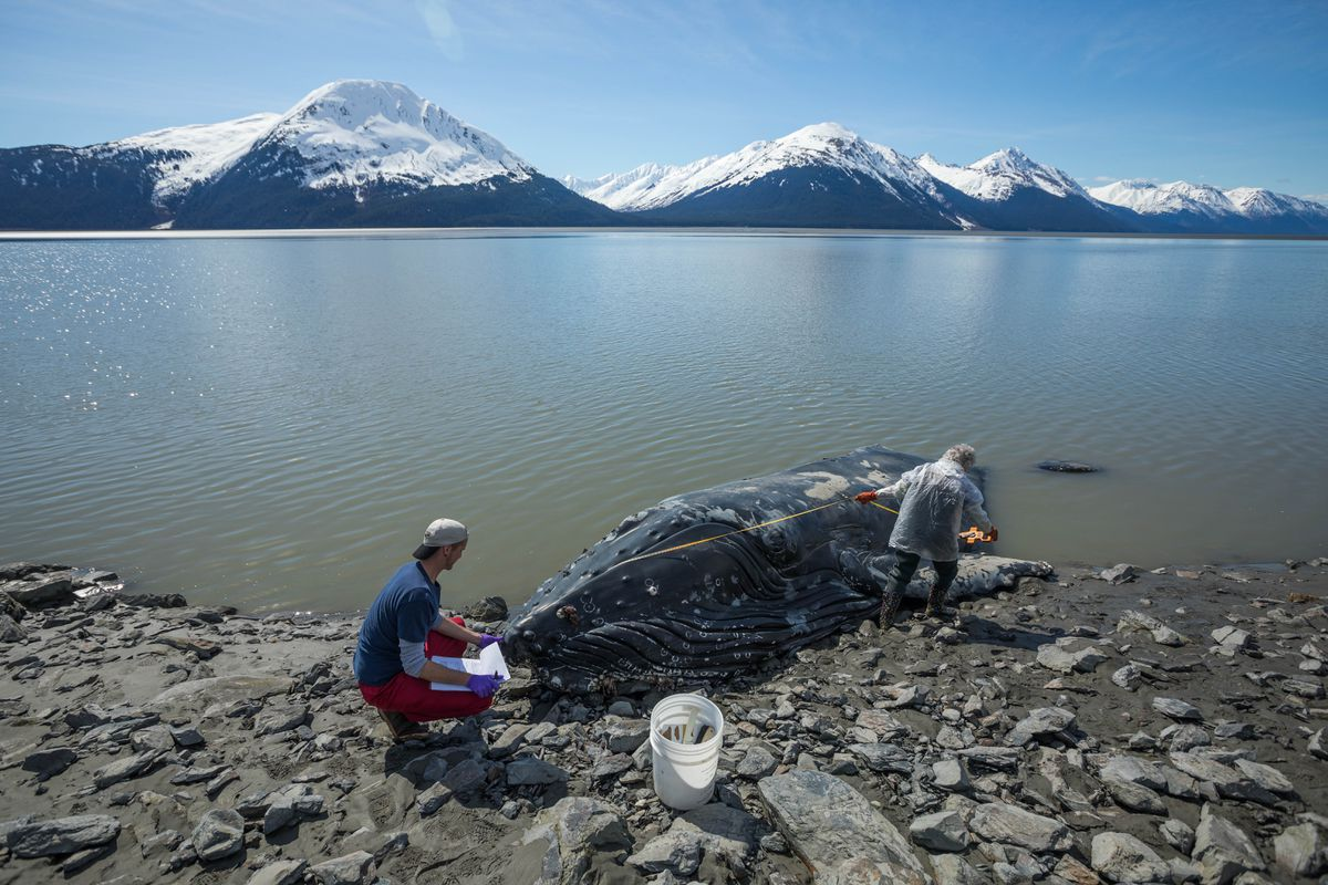 UAA grad student Greg Merrill helps Alaska Sealife Center Veterinarian Pam Tuomi measure a dead humpback whale on the shore of Turnagain Arm south of Girdwood on Tuesday, April 30, 2019. Tuomi and her team gathered samples, including blubber, blood, and the eyes, and will perform a necropsy to try to determine the cause of death. (Loren Holmes / ADN)