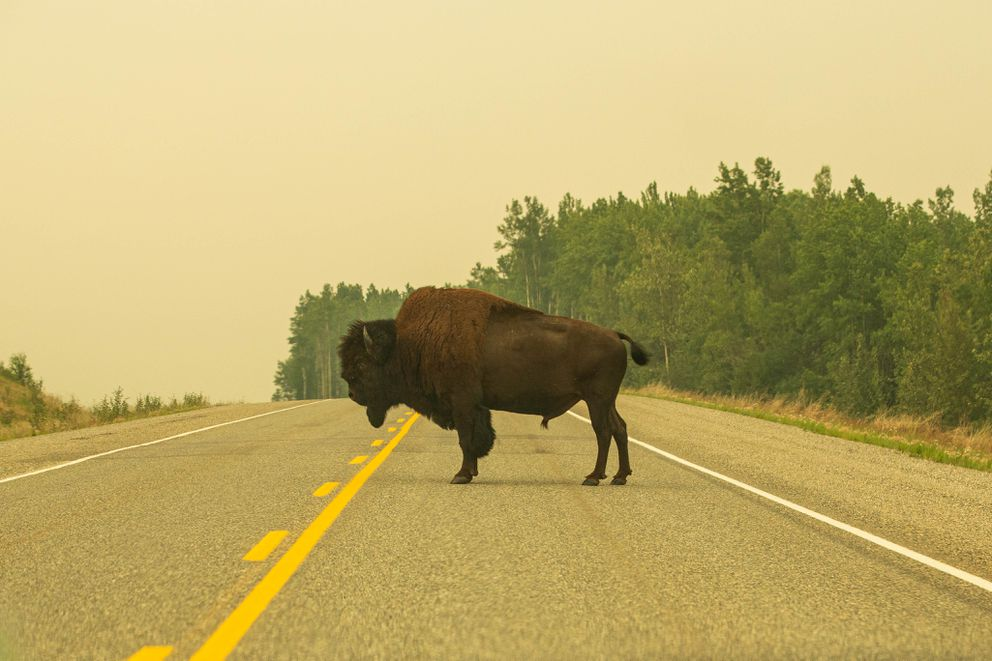 A bison blocks the Alaska Highway along the Liard River in British Columbia on July 5, 2015. (Loren Holmes / ADN archive)