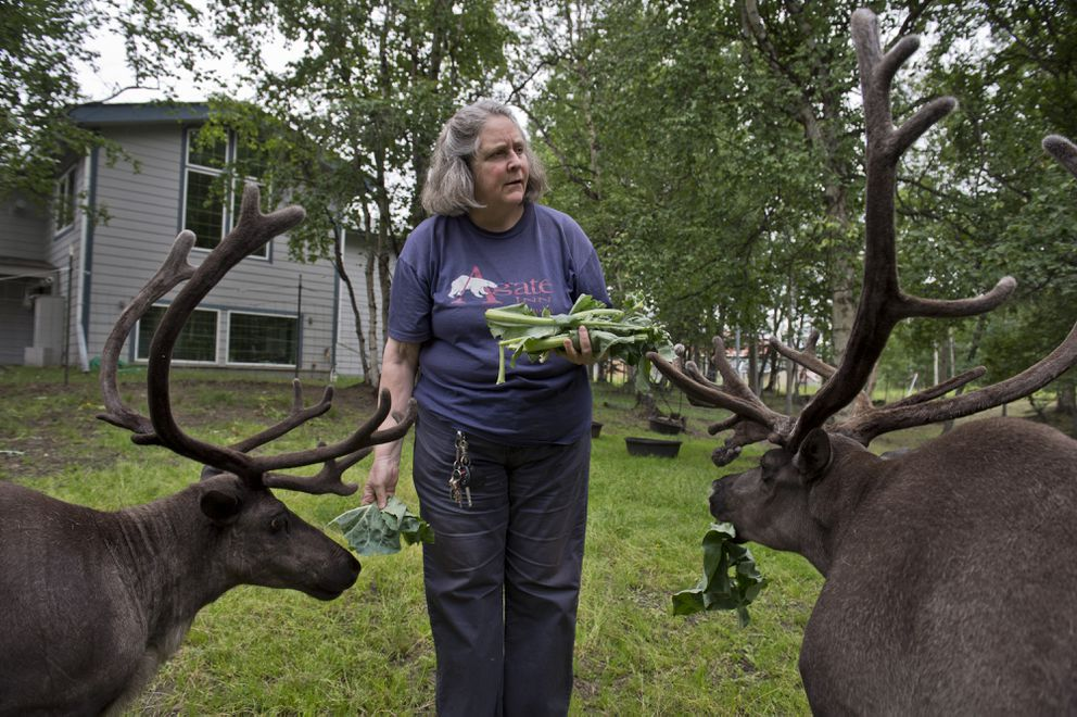 Agate Inn owner Sandy Bowers feeds her reindeer near the Palmer-Wasilla Highway on Tuesday. Bowers says she regularly must pick up plastic bags from her property after wind blows. (Marc Lester / Alaska Dispatch News)
