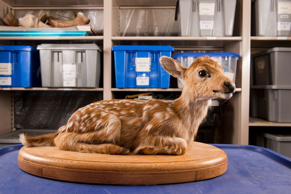 A black-tailed deer fawn is one of the few mammal mounts in the ARLIS collection. The Furs, Mounts and Skulls collection is part of Alaska Resources Library and Information Services and located inside the Consortium Library at UAA. Mounted birds and fish and the fur and skulls of various mammals are made available library card holders for two-week checkout periods. Educators and artists are some of the frequent users of the collection. Photographed on Thursday, September 24, 2015.