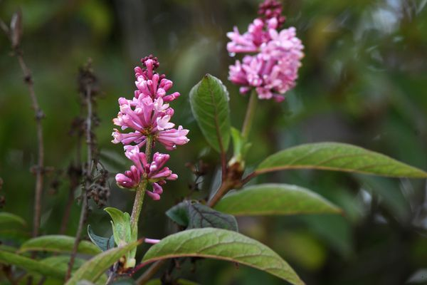 I lilac blooms for the second time this summer on Thursday, August 25, 2016, in Turnagain. (Erik Hill / Alaska Dispatch News)
