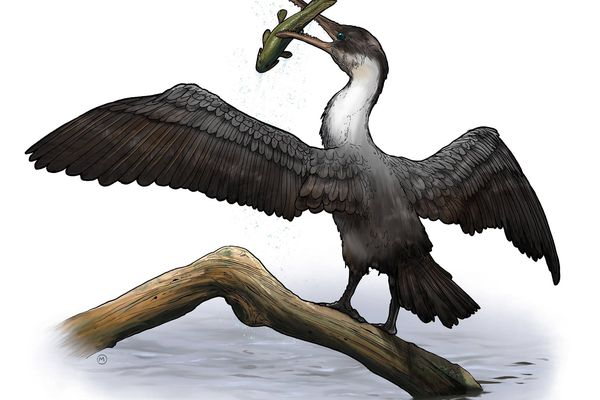 An artist's rendering of Tingmiatornis arctica (University of Rochester illustration / Michael Osadciw)