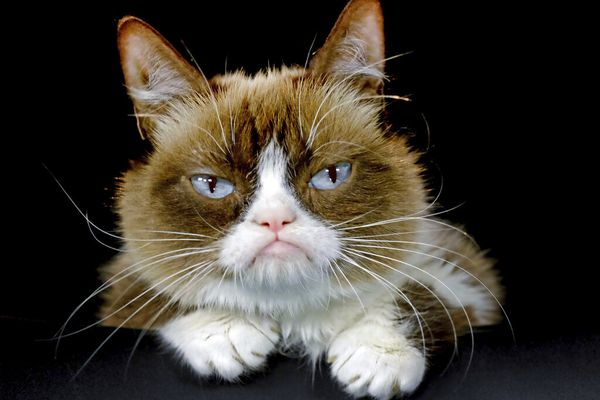 """FILE - This Dec. 1, 2015 file photo shows Grumpy Cat posing for a photo in Los Angeles. Grumpy Cat, whose sour puss became an internet sensation, has died at age 7, according to her owners. Posting on social media Friday, May 17, 2019, her owners wrote Grumpy experienced complications from a urinary tract infection and """"passed away peacefully"""" in the arms of her mother on Tuesday, May 14. (AP Photo/Richard Vogel, File)"""