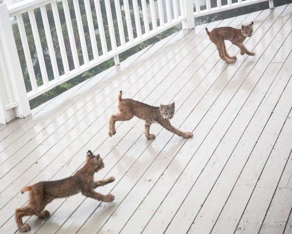 Three lynx play on Tim Newton's deck at the end of September 2017. His new Facebook page has almost 20,000 followers as a result of the lynx photographs. (Tim Newton / tim-newton.pixels.com/)