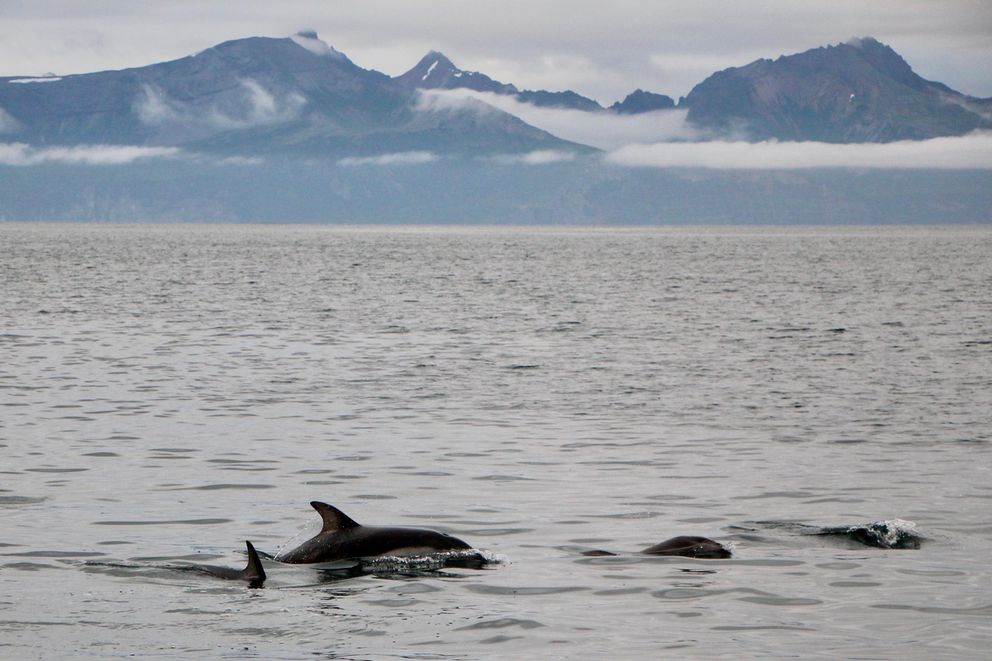 Porpoises swim in Chignik Bay, just minutes away from the city's harbor. (Alex Hager / KDLG)