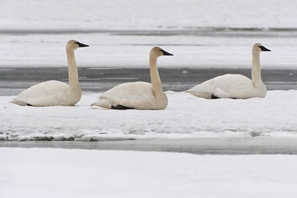 Trumpeter swans rest on the snow at Westchester Lagoon during their migration north on Sunday, April 11, 2021. The previously open water has refroze during record cold weather removing their ability to feed. (Bill Roth / ADN)