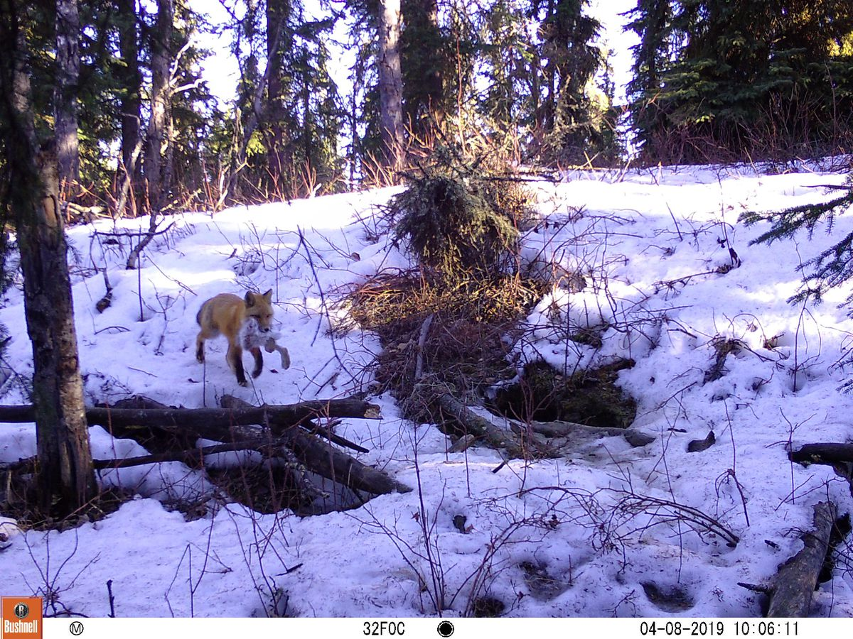 A male red fox returns to a den with a snowshoe hare. (Photo by Ned Rozell)