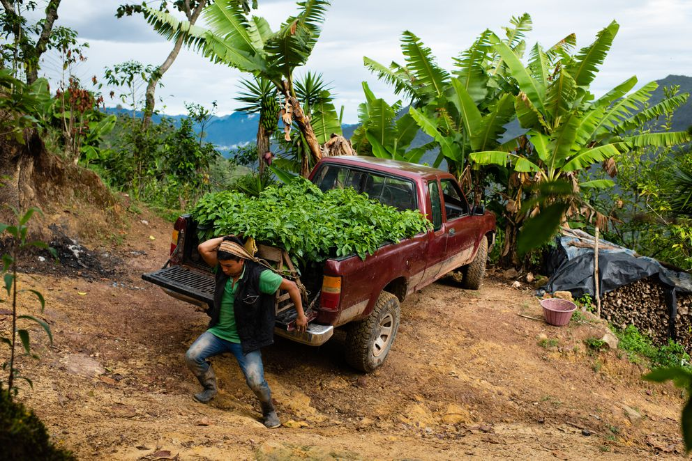 Pedro Sarjento Vásquez, 20, loads young coffee plants donated to the cooperative by Starbucks onto his back. (Washington Post photo by Sarah L. Voisin)