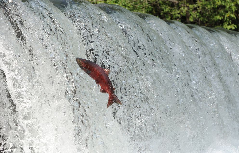 A king salmon that has returned to Ship Creek to spawn attempts to leap over a waterfall near the William Jack Hernandez Sport Fish Hatchery on Thursday, July 7, 2016. (Bill Roth / Alaska Dispatch News)