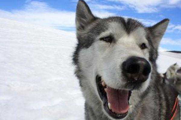 Sled dog: Image
